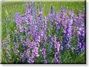 фото квіти польові